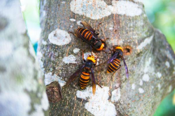 enelabo-vespa-orientalis01