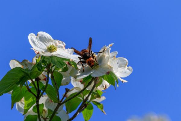 enelabo-vespa-orientalis02