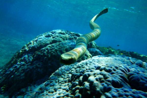【宮古島の危険生物】ウミヘビ