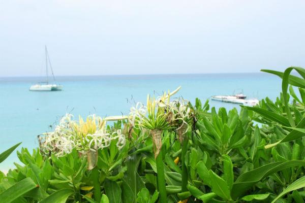 宮古島でも多く見られるハマユウの花