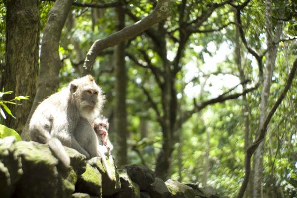 バリ島:モンキーフォレストの猿