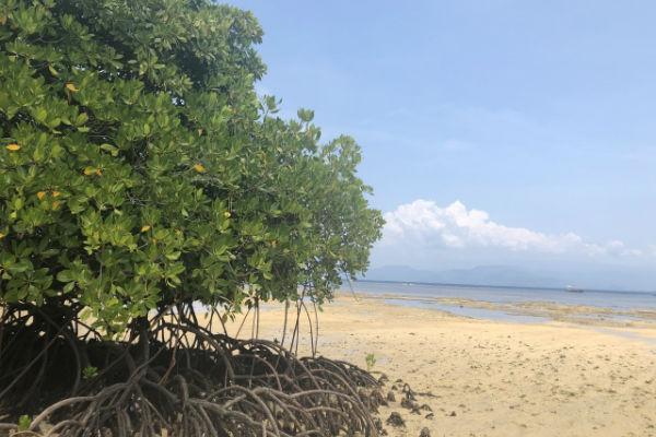 レンボンガン島:マングローブ