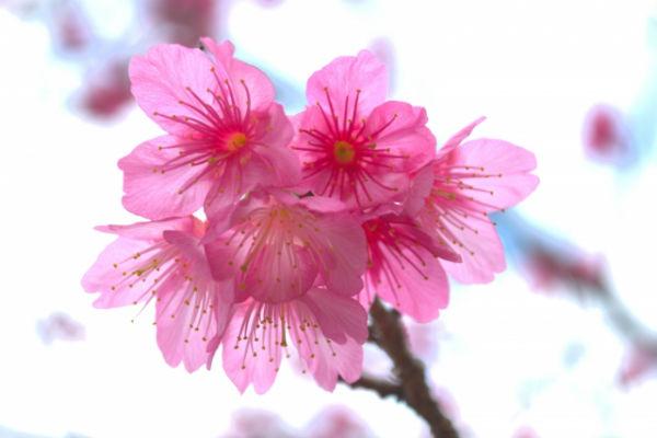 resolabo-miyakojima-cherry-blossom01