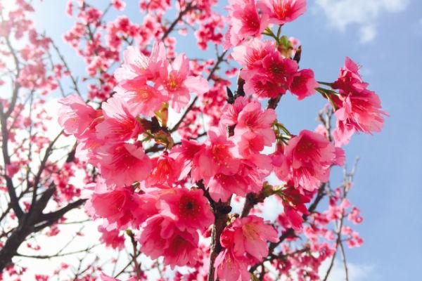 resolabo-miyakojima-cherry-blossom02