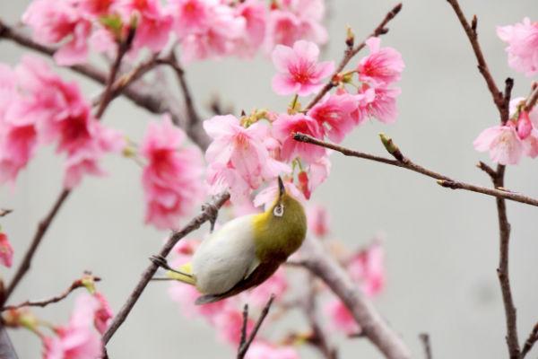 resolabo-miyakojima-cherry-blossom03